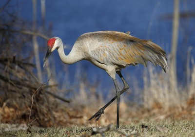 A Familiar Sight: Florida's Sandhill Crane