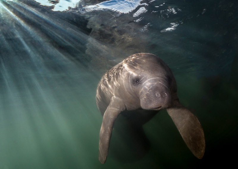 Manatee Awareness Month: How You Can Help