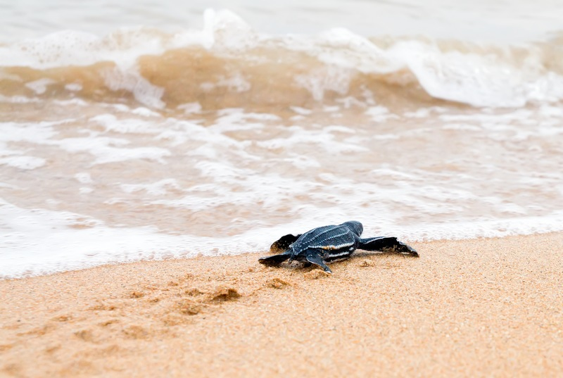 Sea Turtle Season in Florida: 4 Things You Should Know