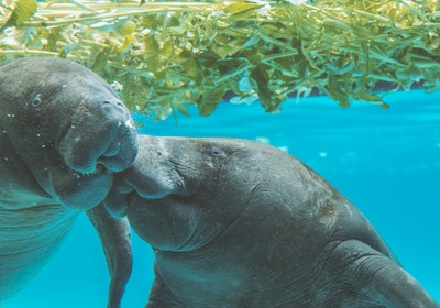 Meet the Manatee, Florida's Friendliest Face