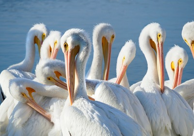 Florida's Migratory Snowbird – The White Pelican